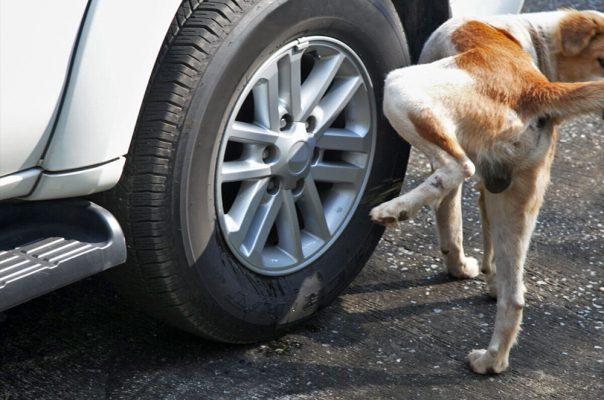 Chó tè bánh xe